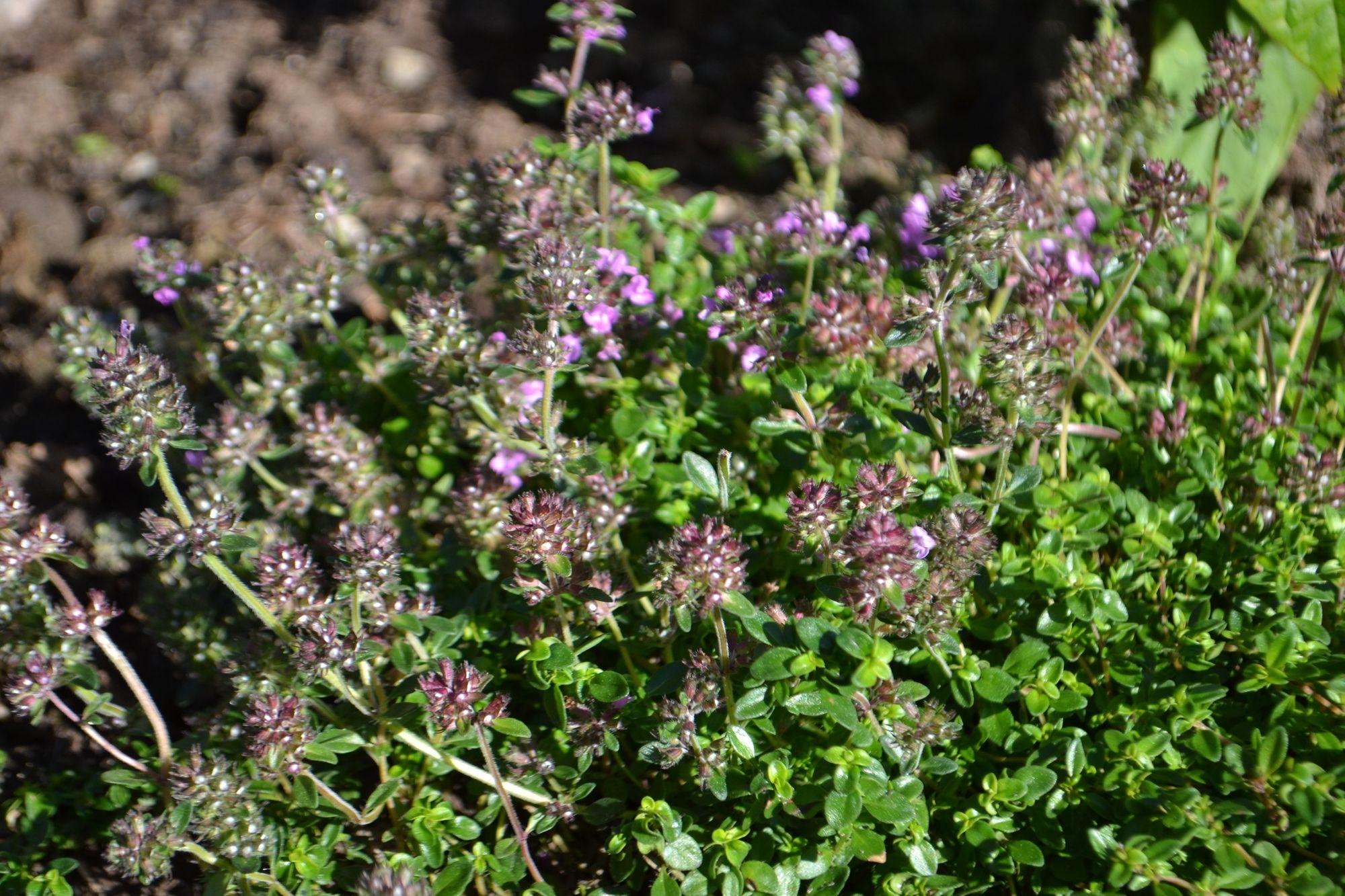 Citrininis čiobrelis (Thymus citriodorus)