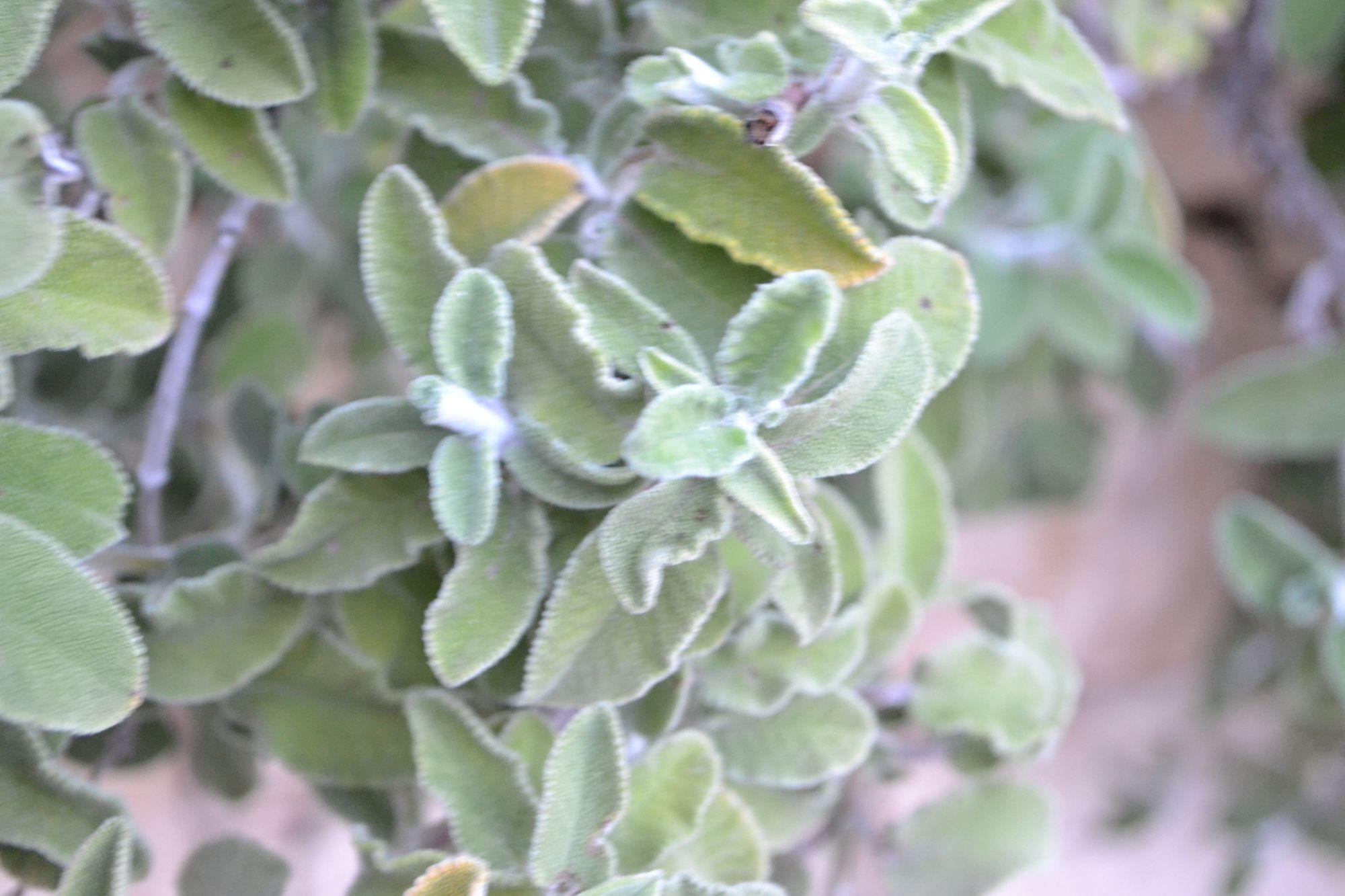 Krūminis šalavijas (Salvia fruticosa)