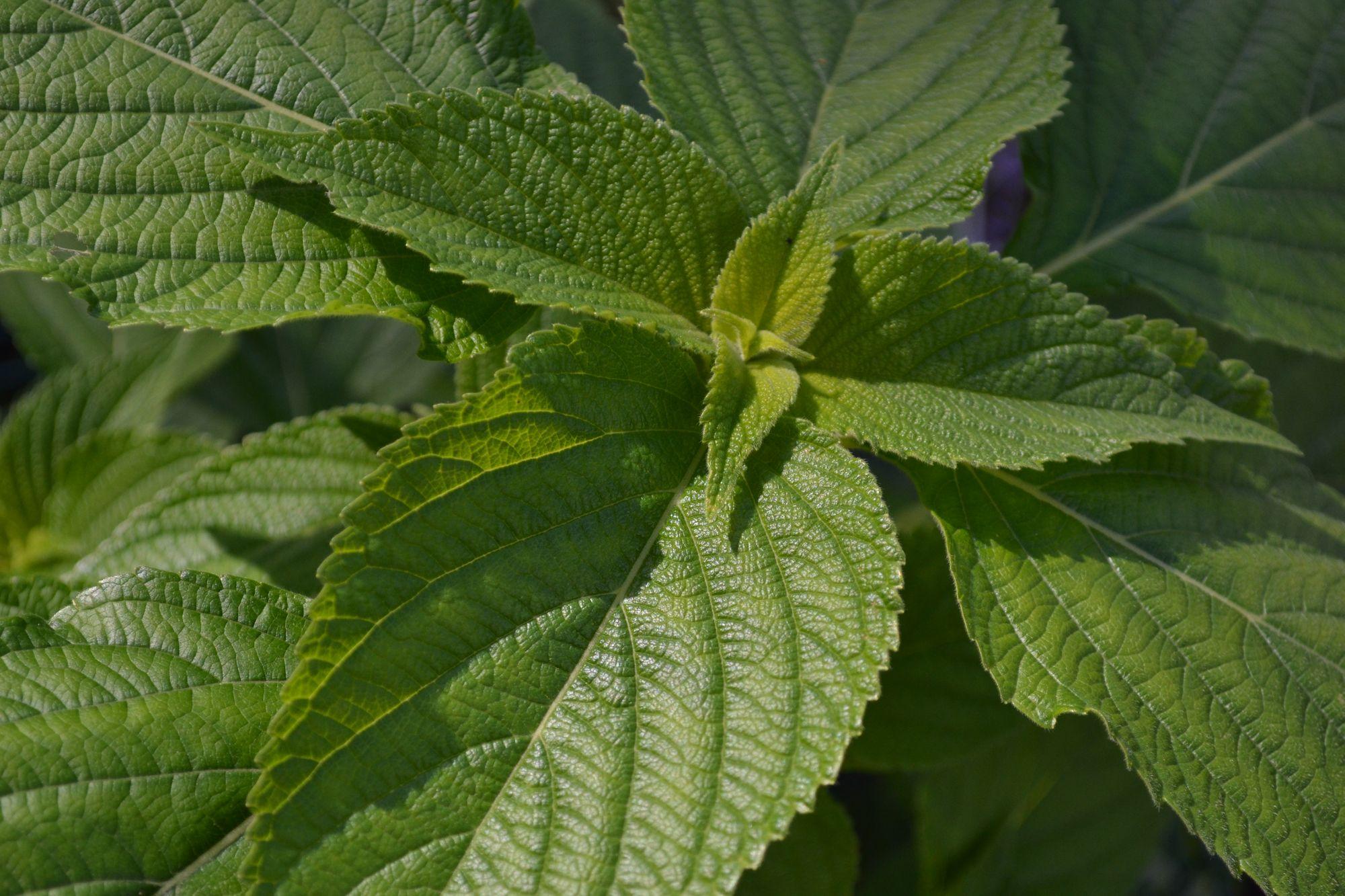 Ispaninis šalavijas, Chia (Salvia hispanica)