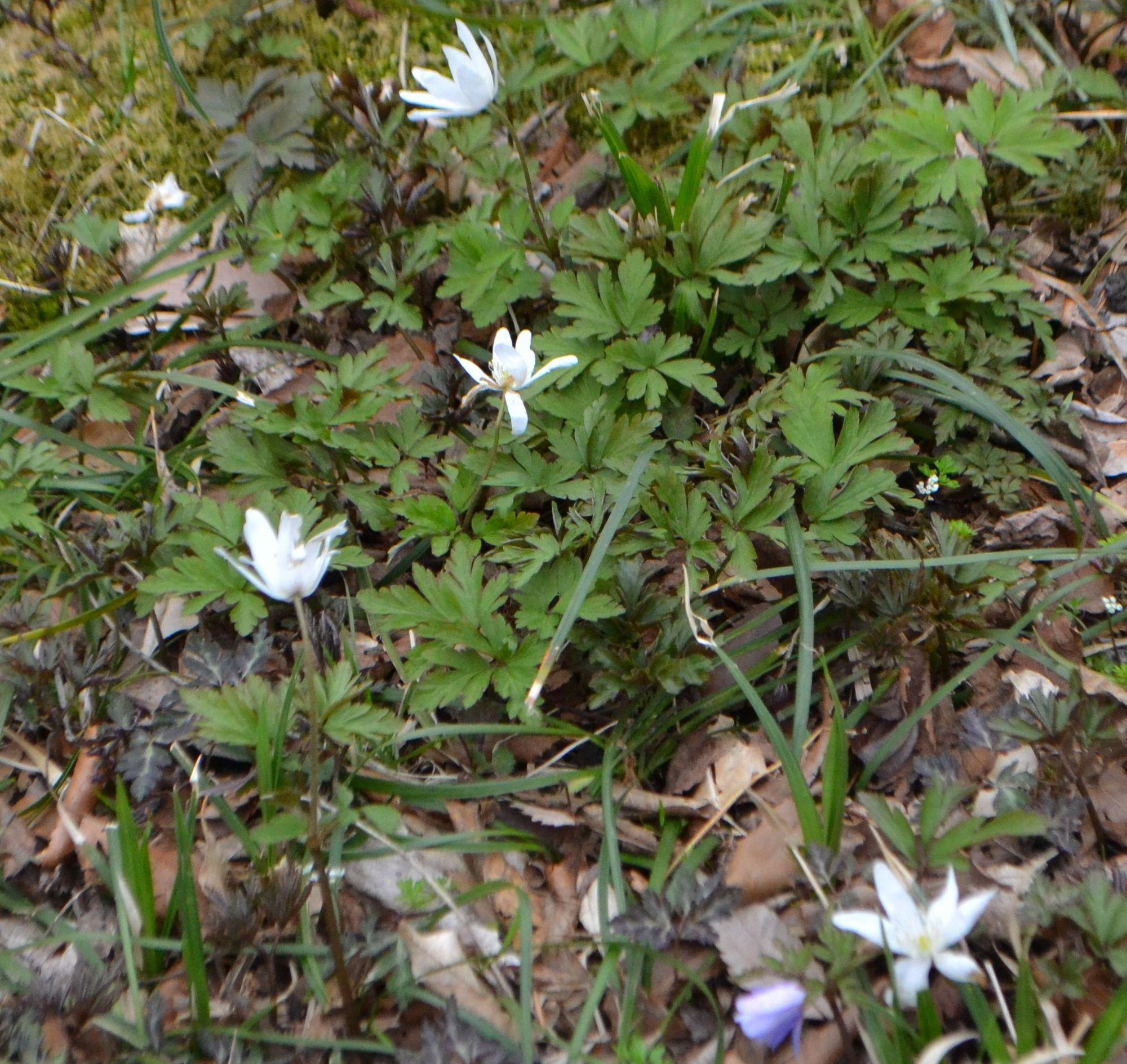 Plukė (Anemone pseudoaltaica)