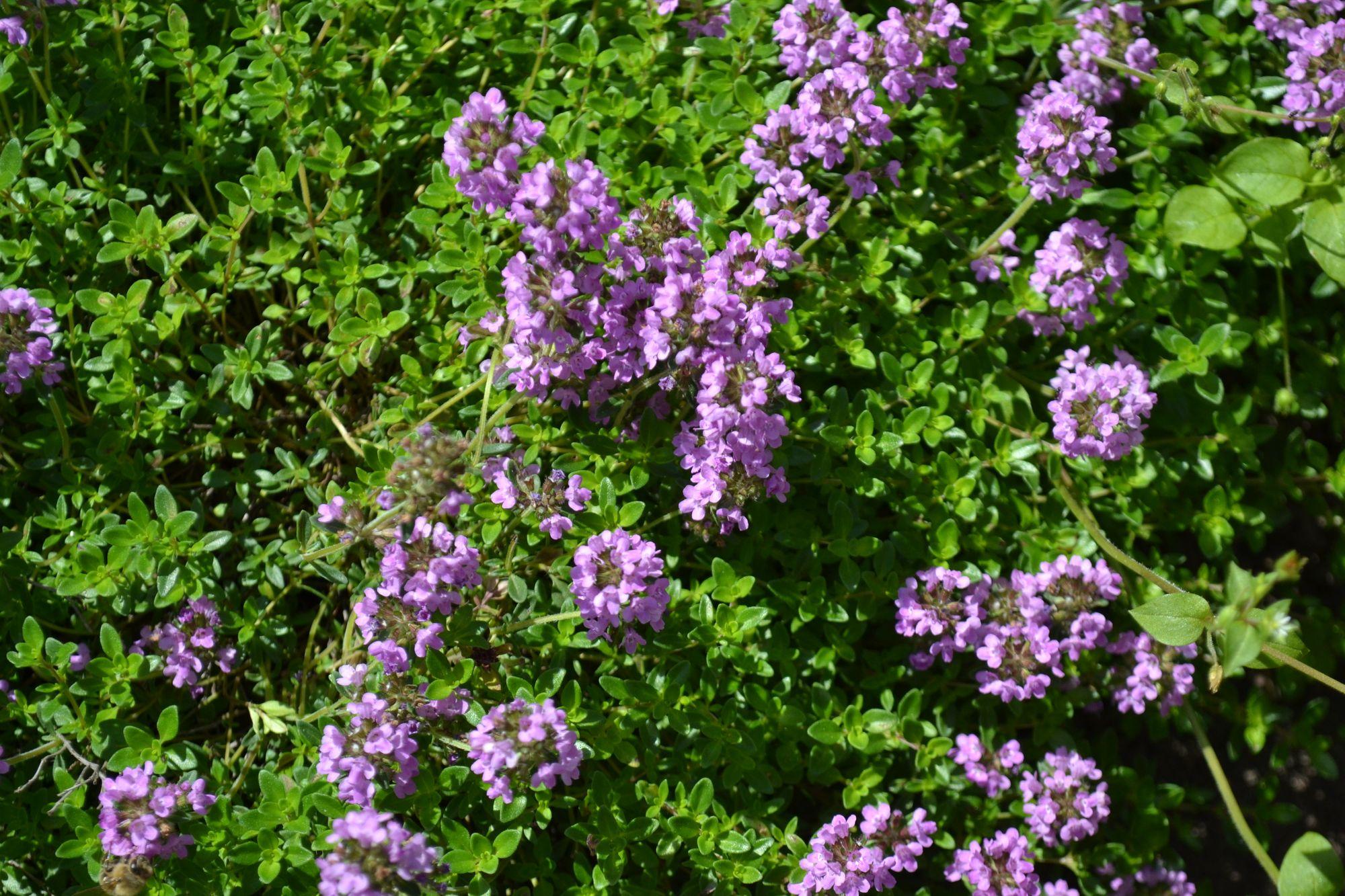 Paprastasis čiobrelis (Thymus serpyllum)