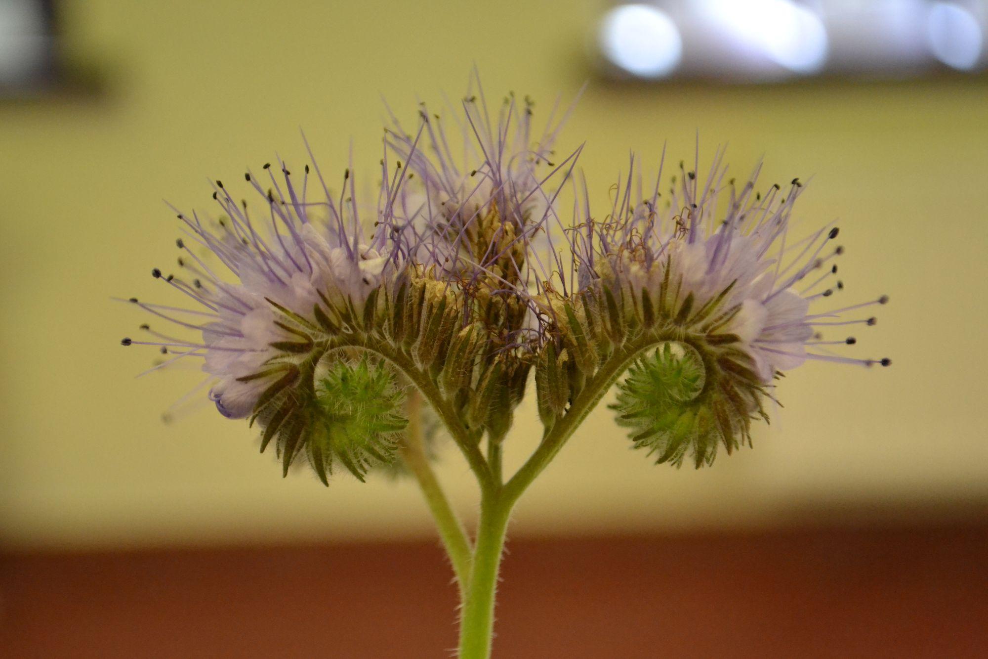 Bitinė facelija (Phacelia tanacetifolia)