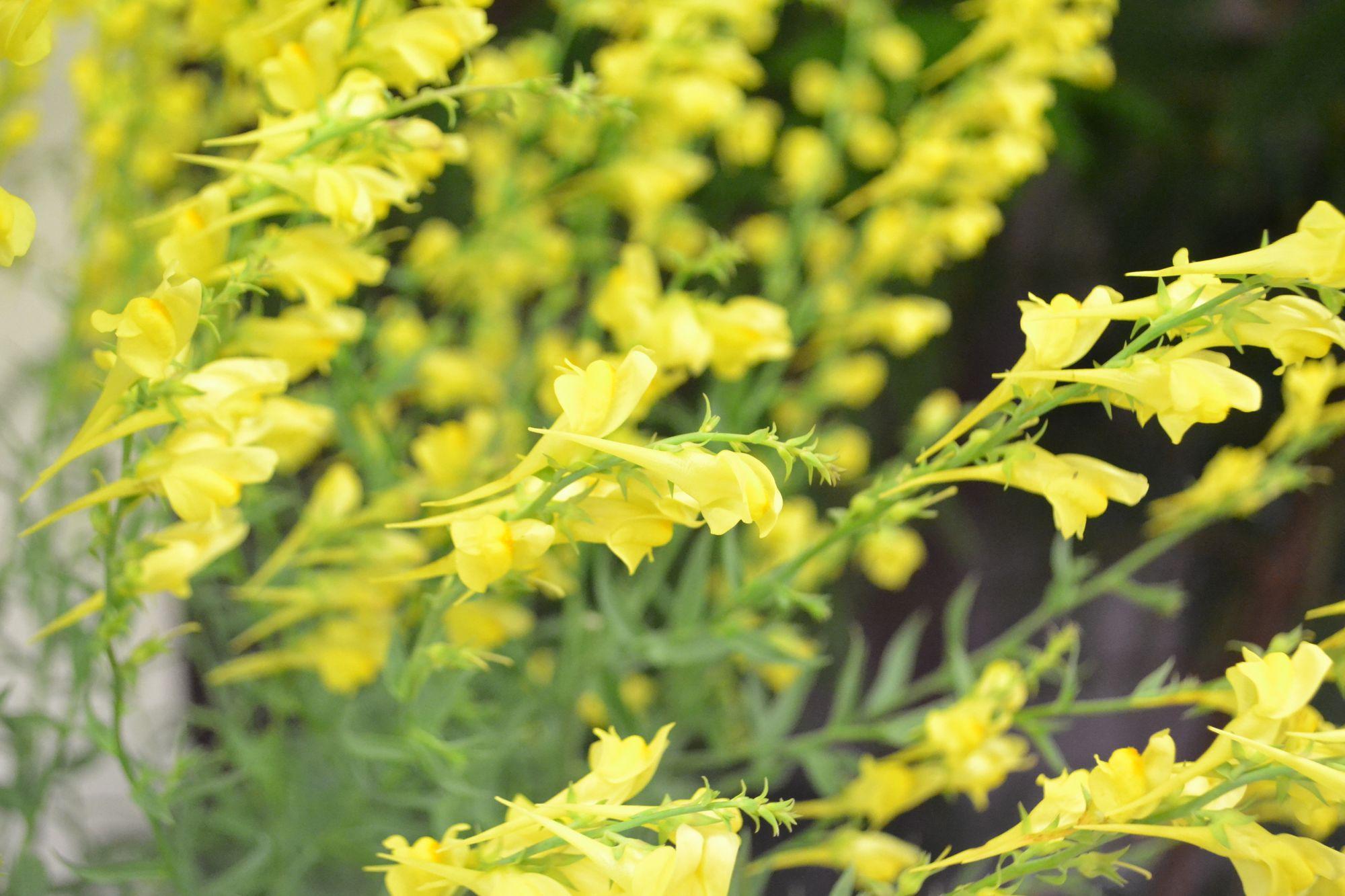 Stambiažiedė linažolė (Linaria grandiflora)