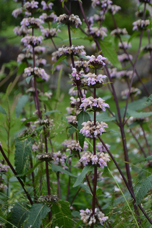 Paprastoji gumbenė (Phlomis tuberosa)