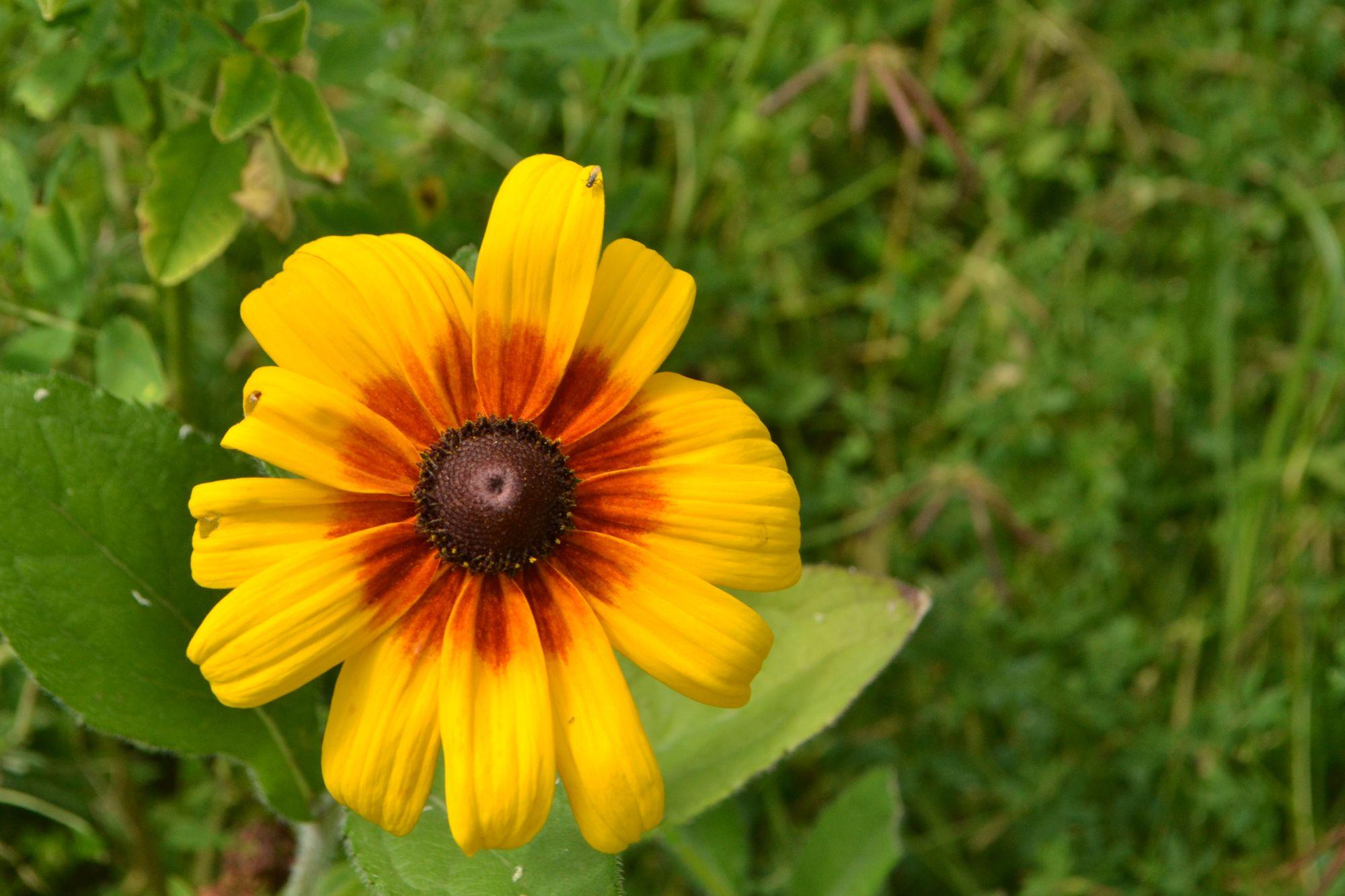 Dvispalvė rudbekija (Rudbeckia bicolor)