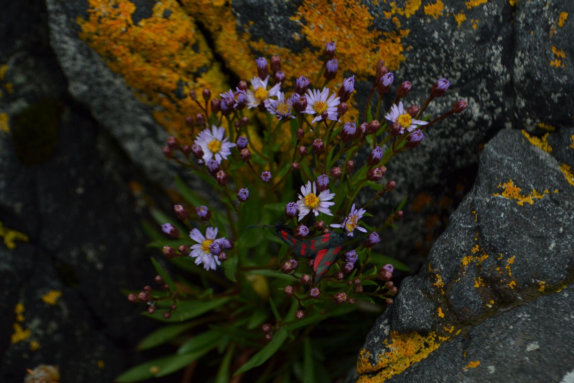 Trispalvis astras (Tripolium pannonicum, syn. Aster tripolium)