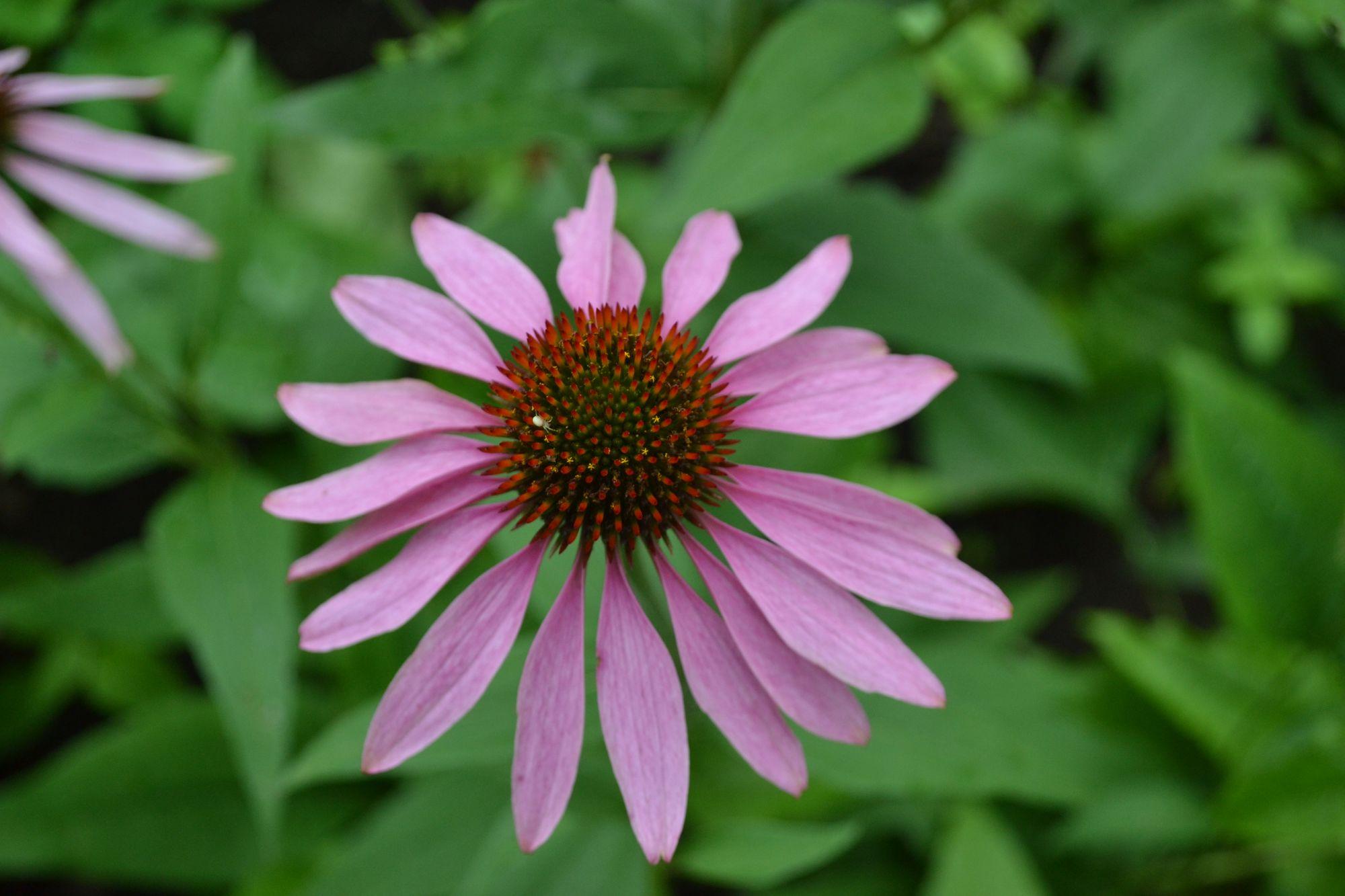 Rausvažiedė ežiuolė 'Tetra Stern' (Echinacea purpurea)