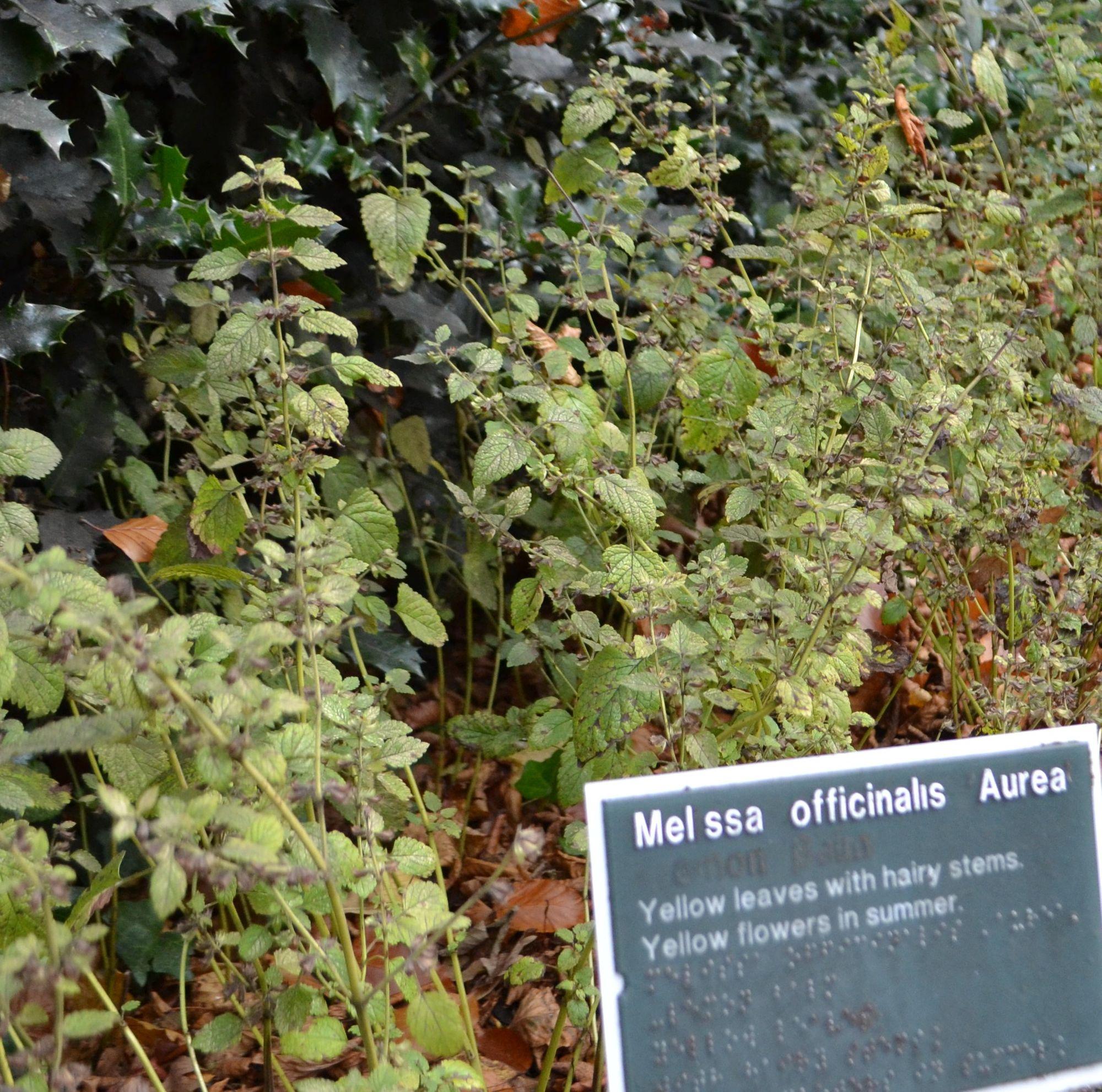 Vaistinė melisa 'Aurea' (Melissa officinalis)