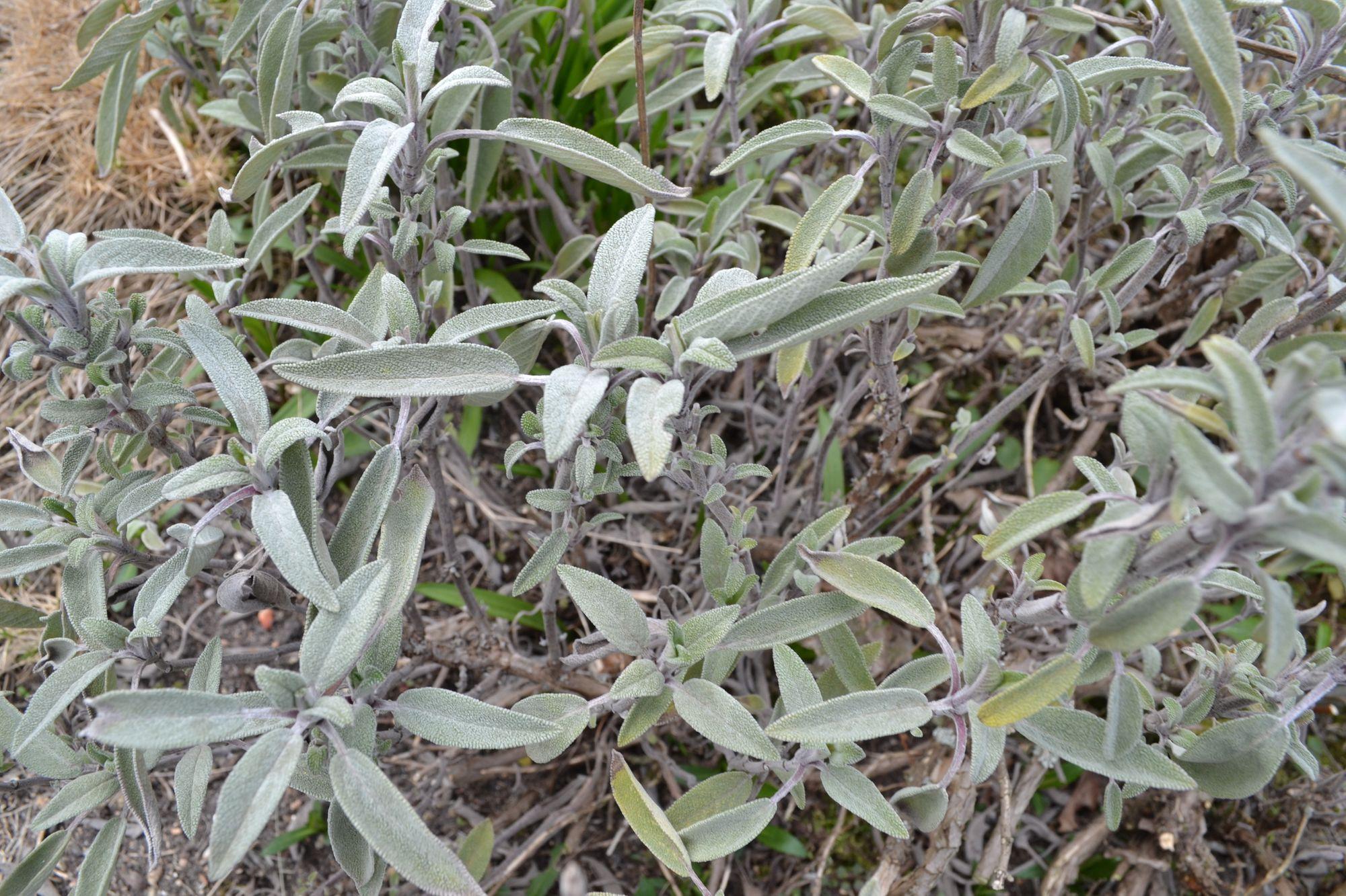 Levandinis šalavijas (Salvia lavandulifolia)