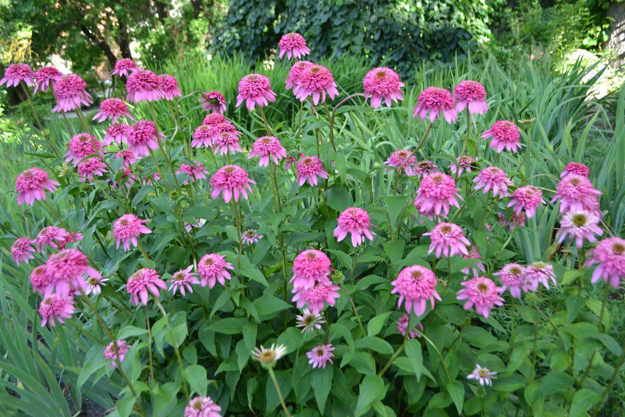 Rausvažiedė ežiuolė 'Razzmatazz' (Echinacea purpurea)