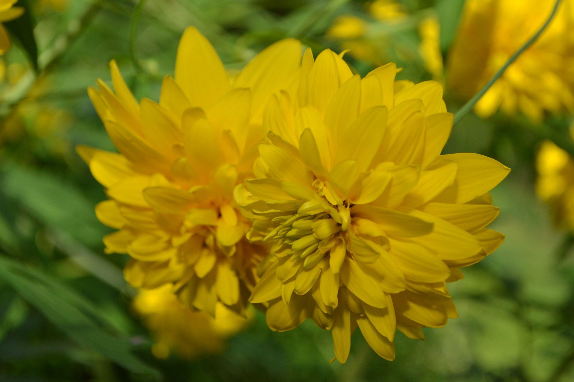 Plunksnalapė rudbekija 'Gold Ball' (Rudbeckia laciniata)