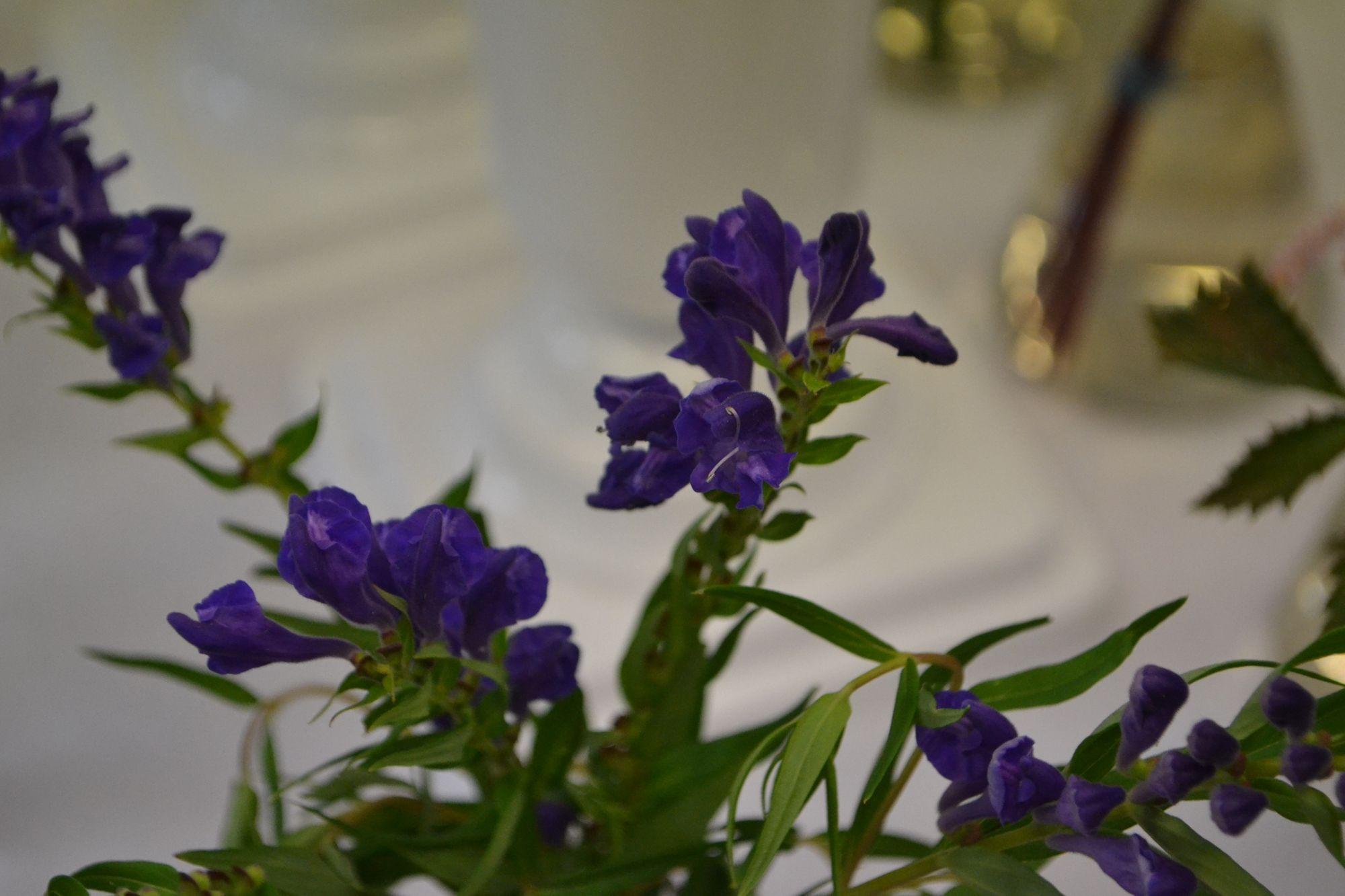 Baikalinė kalpokė (Scutellaria baicalensis)