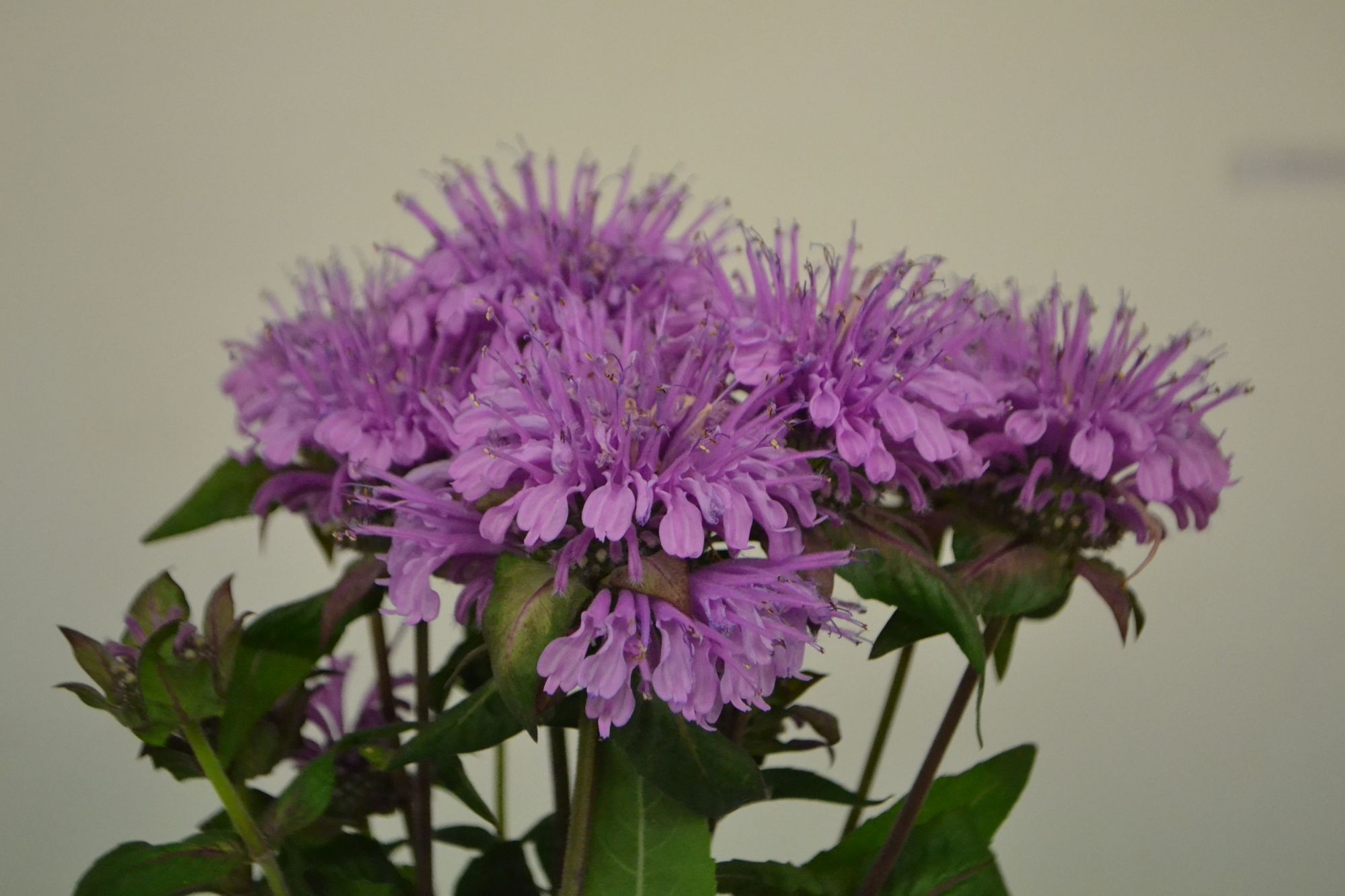 Vamzdelinė monarda, mėtalapis varietetas 'Mohikaner' (Monarda fistulosa, var. menthifolia)