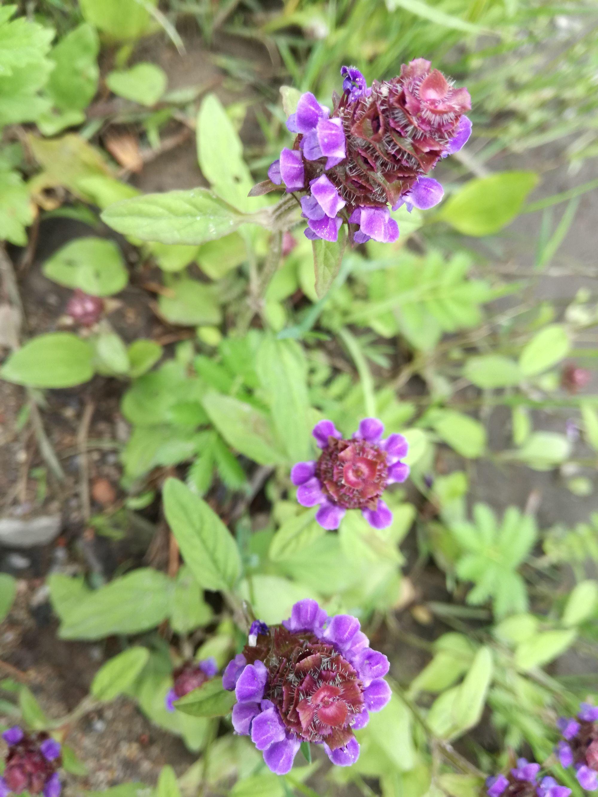 Paprastoji juodgalvė (Prunella vulgaris)