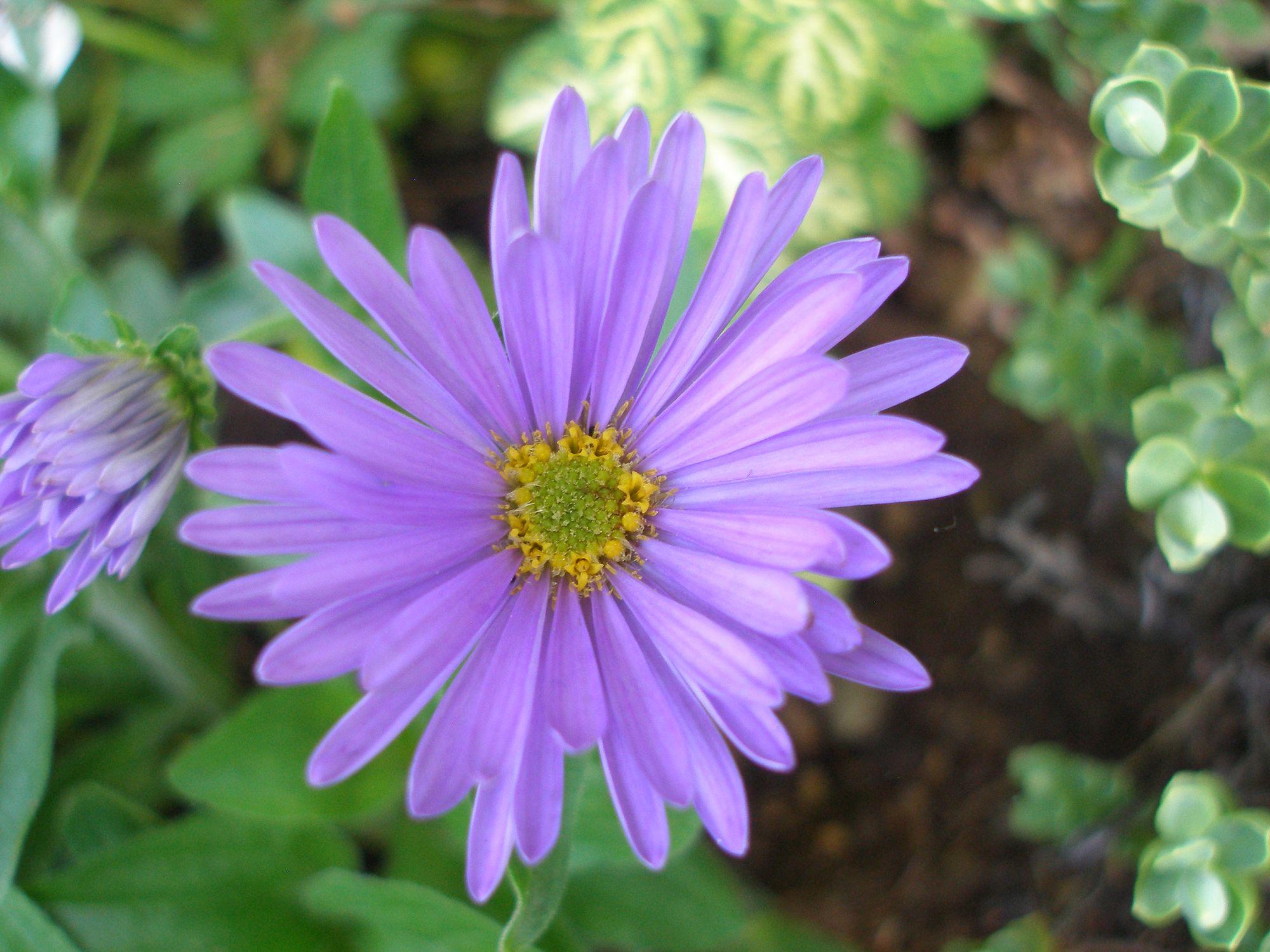 Alpinis astras (Symphyotrichum alpinus, syn. Aster alpinus)