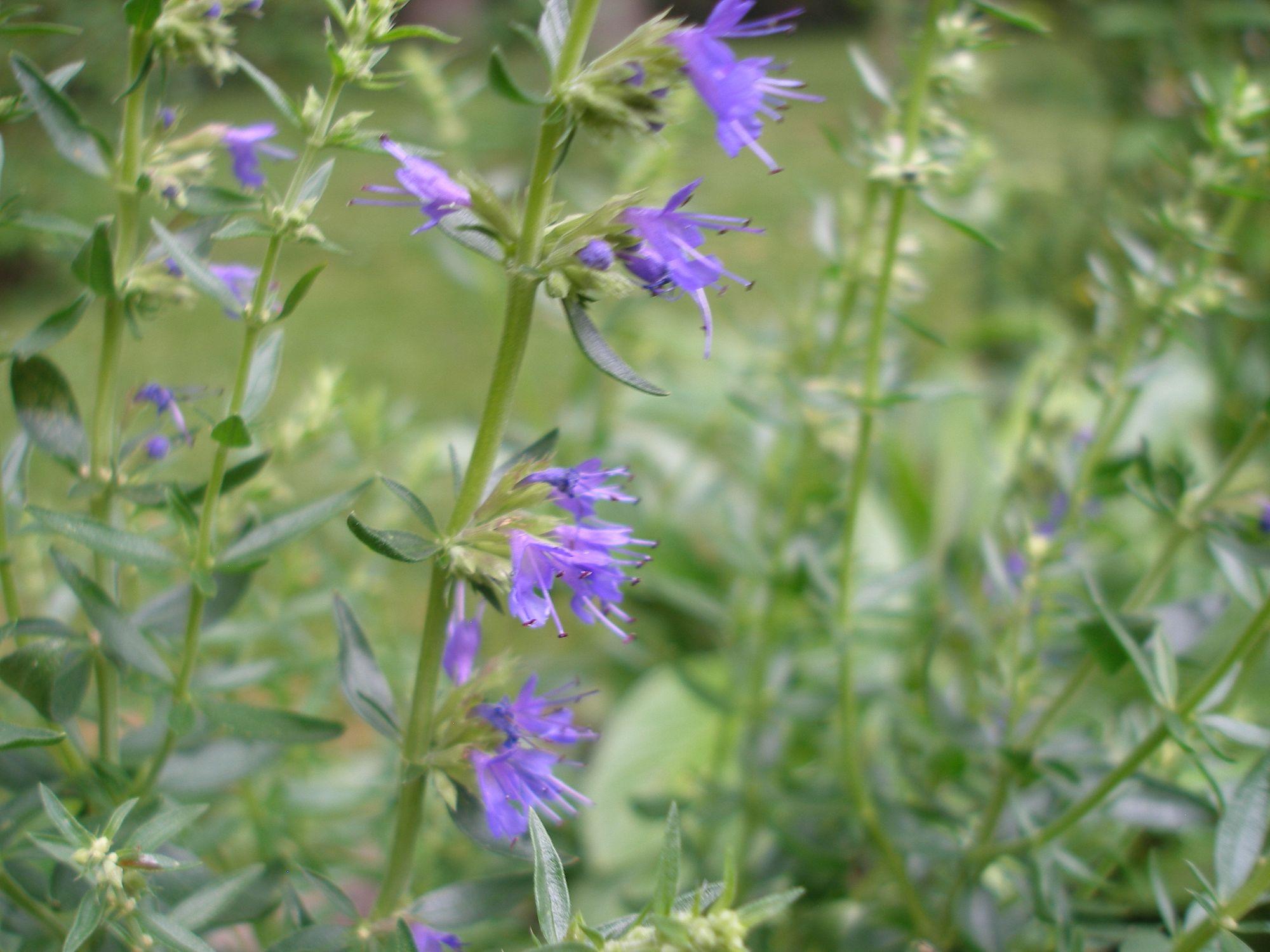Vaistinis isopas, juozažolė (Hyssopus officinalis)