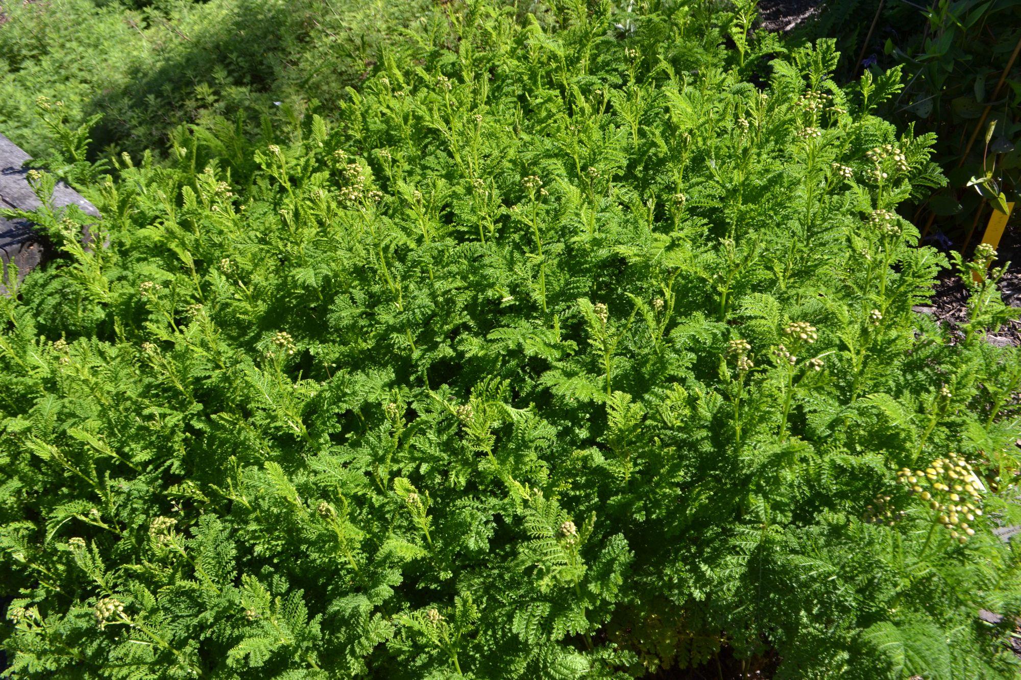 Paprastoji bitkrėslė 'Crispum' (Tanacetum vulgare)