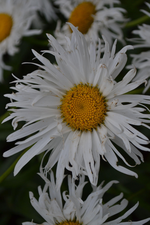 Puošnioji baltagalvė 'Old Court Variety' (Leucanthemum x superbum)