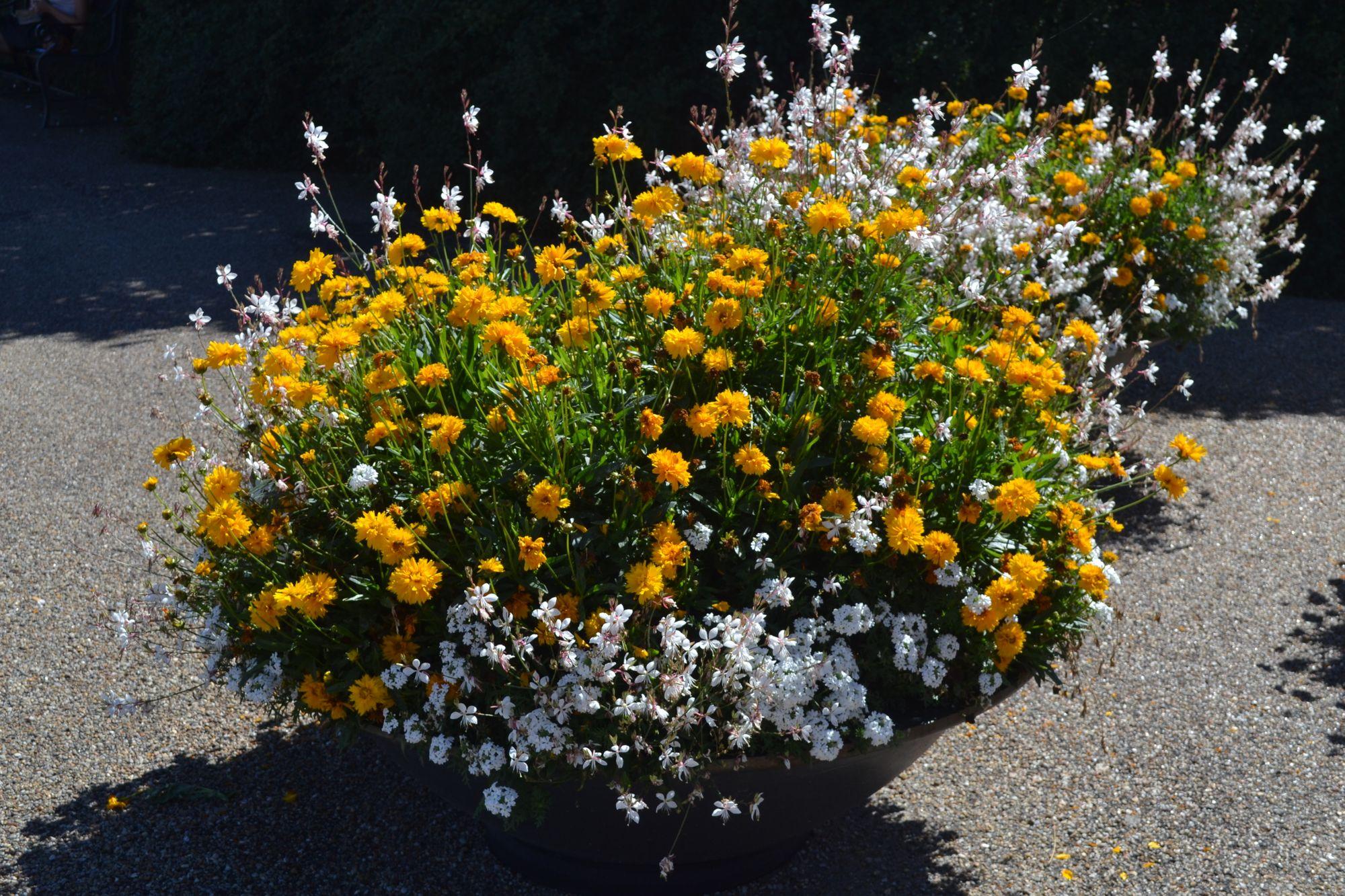 Stambiažiedis gludas (Coreopsis grandiflora)