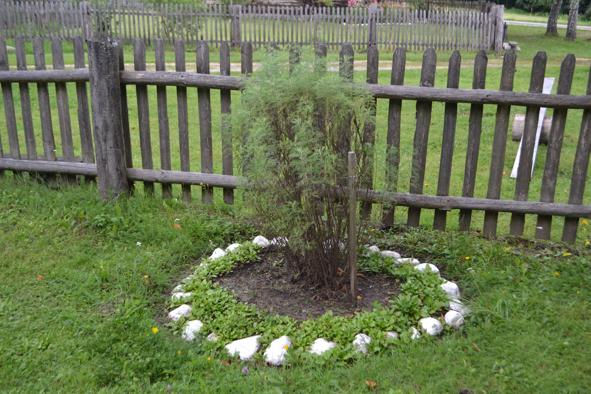 Diemedis (Artemisia abrotanum)
