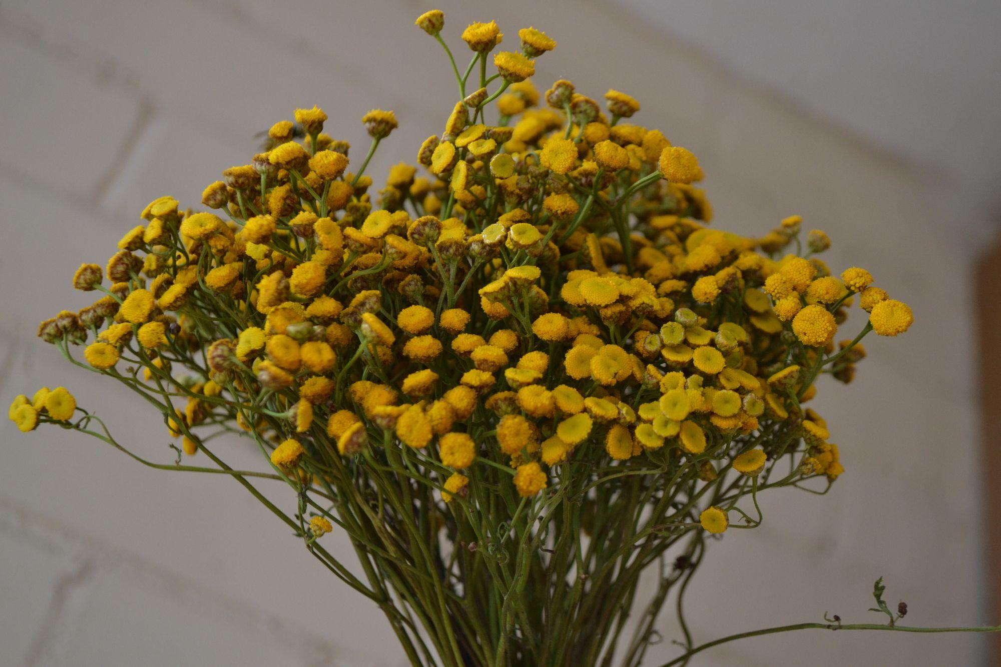 Paprastoji bitkrėslė (Tanacetum vulgare)
