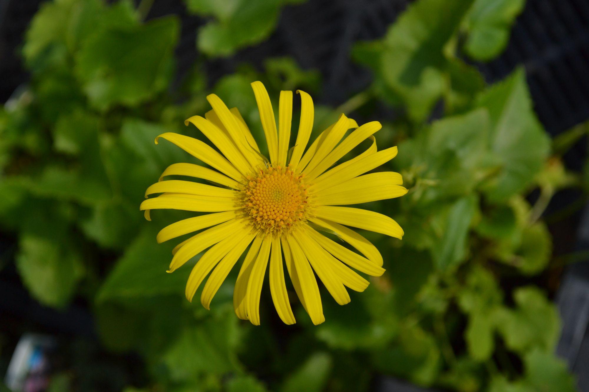 Rytinė laumenė (Doronicum orientale)