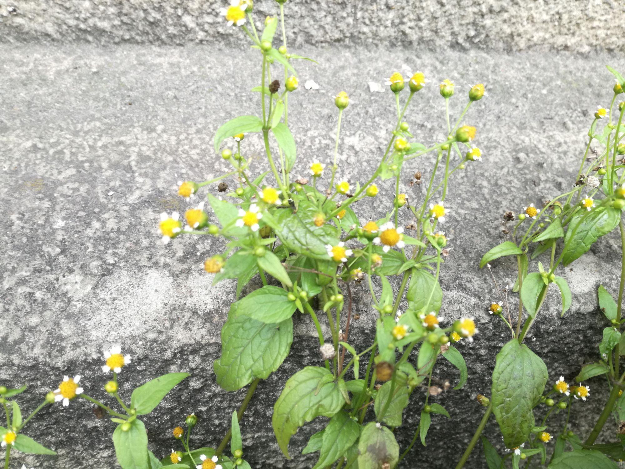 Smulkiažiedė galinsoga (Galinsoga parviflora)