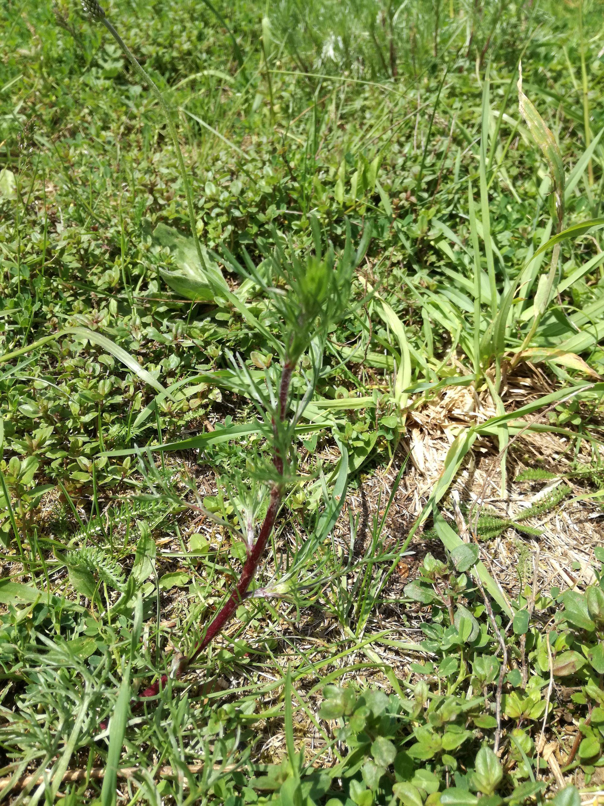 Dirvoninis kietis (Artemisia campestris)