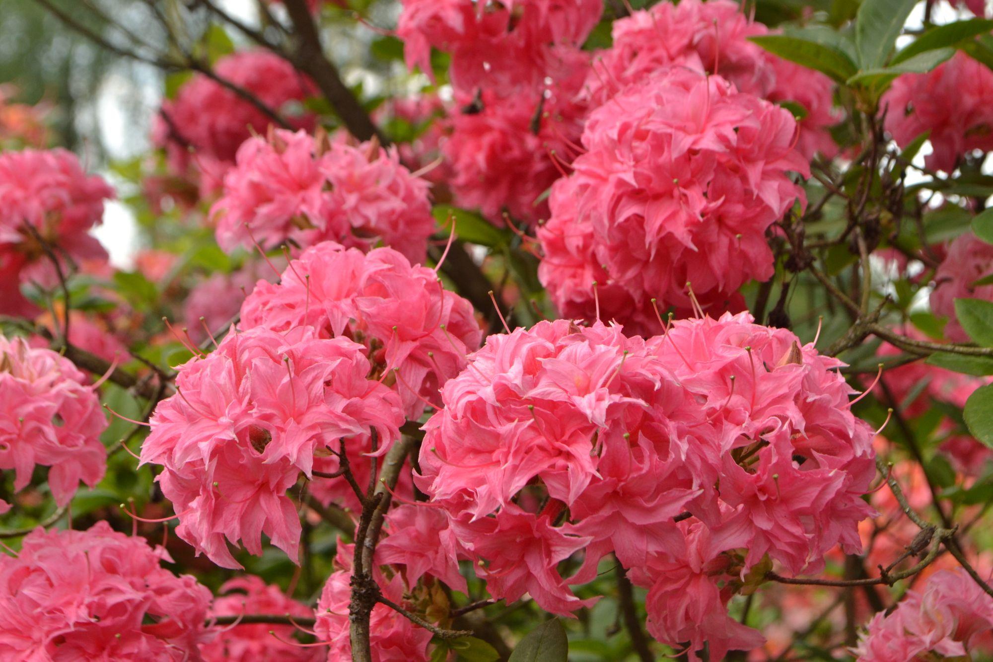 Rododendrai - krūmai karaliai