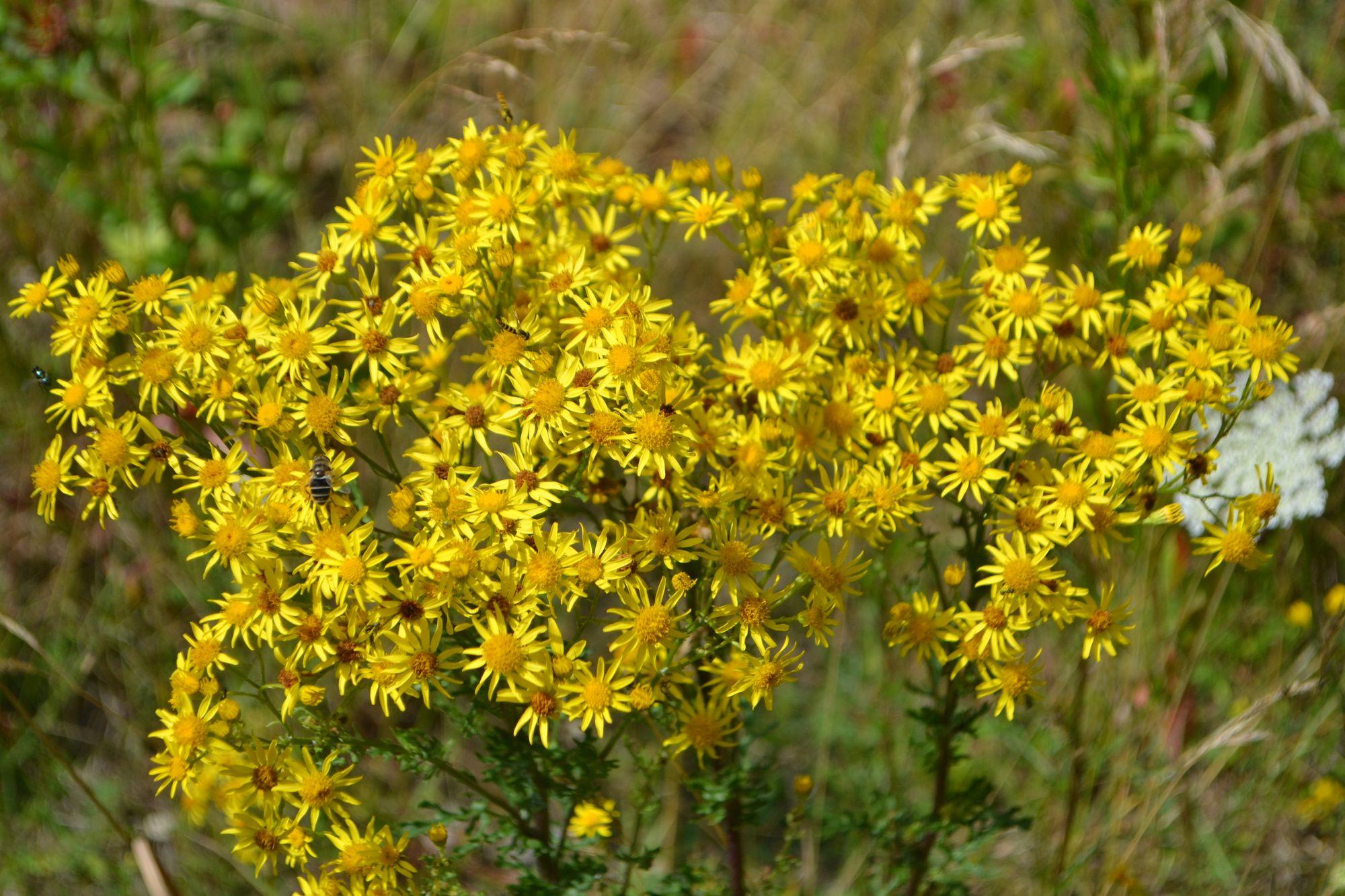 Pievinė žilė (Senecio jacobaea, syn. Jacobaea vulgaris)