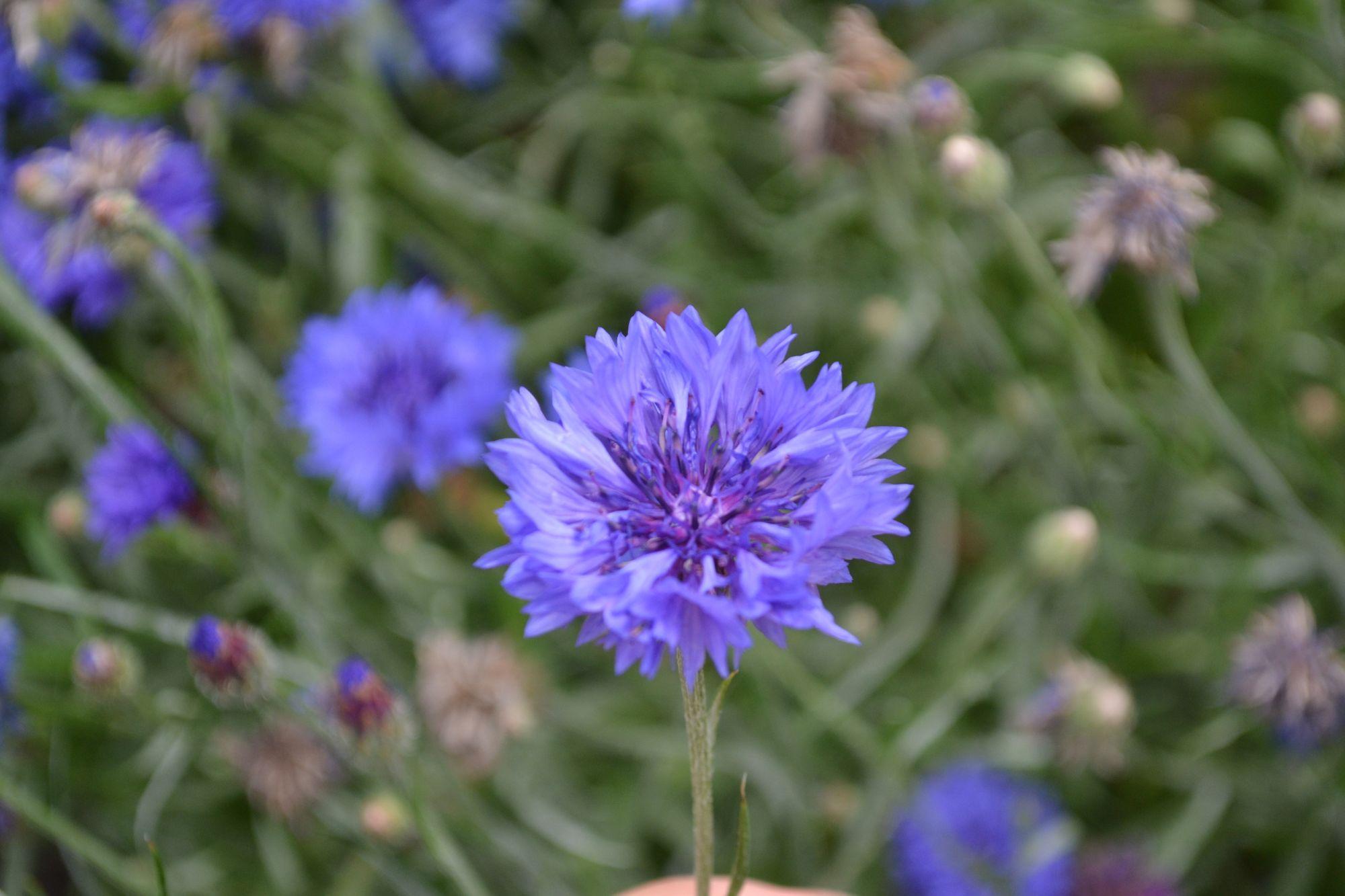 Rugiagėlė (Centaurea cyanus)