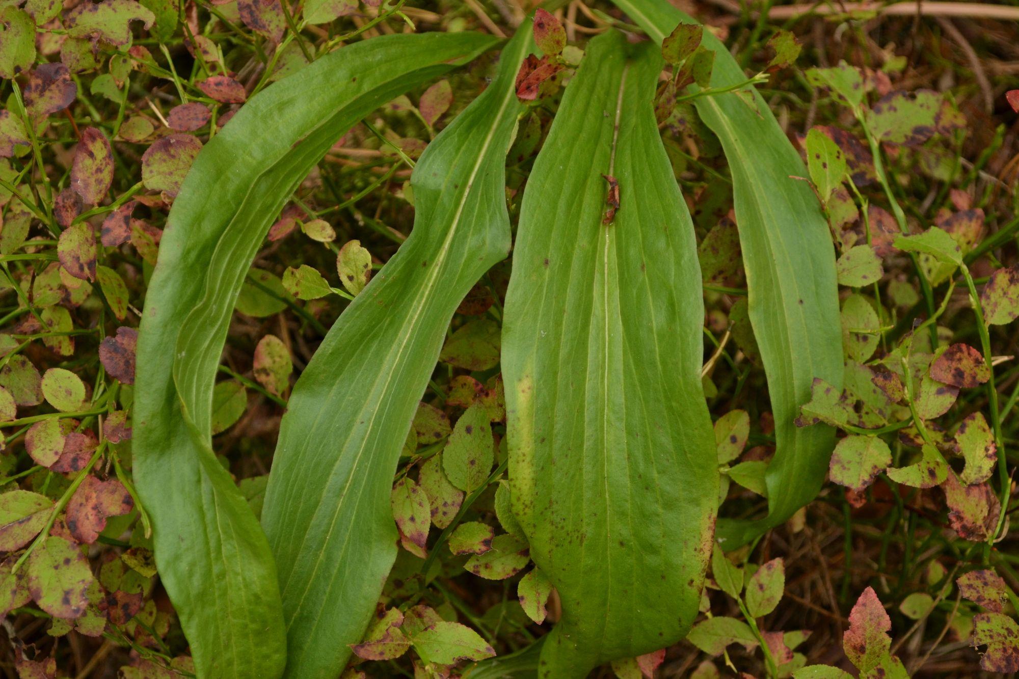 Pušyninė gelteklė (Scorzonera humilis)