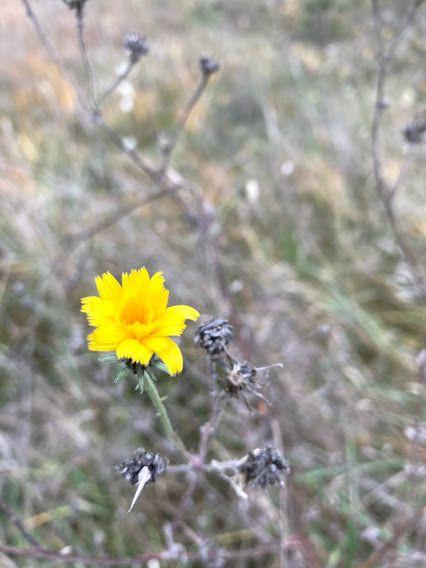 Vanaginis kartylis (Picris hieracioides)