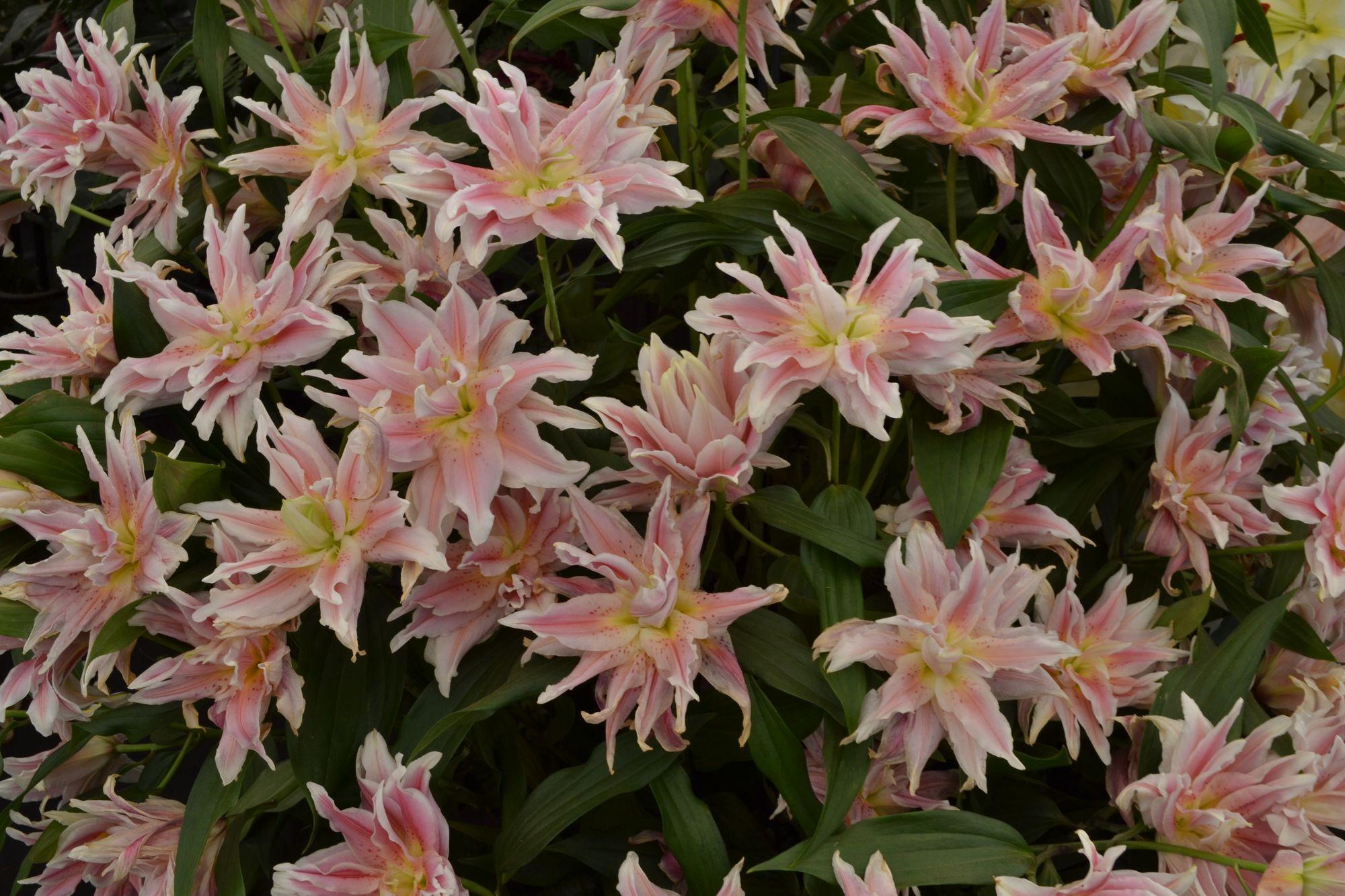 Rytinė lelija 'Natalia' (Lilium oriental)