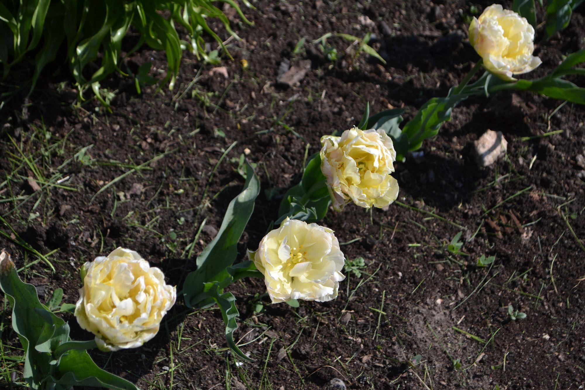 Tulpė 'Verona' (Tulipa hybrida)
