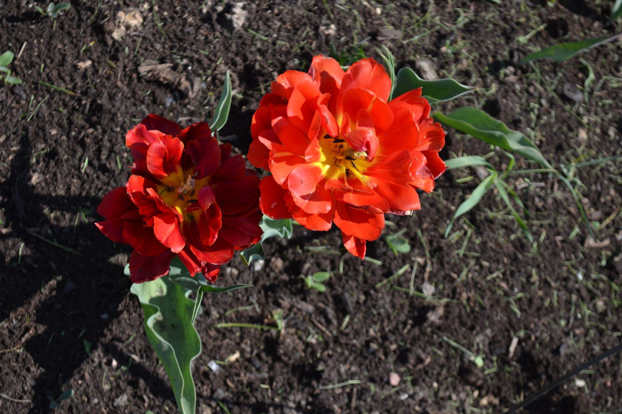 Tulpė 'Willem van Oranje' (Tulipa hybrida)