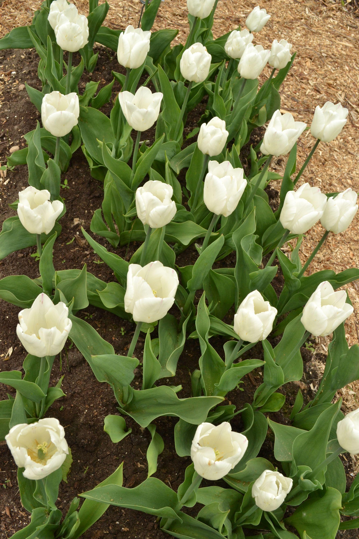 Tulpė 'White Princess' (Tulipa hybrida)
