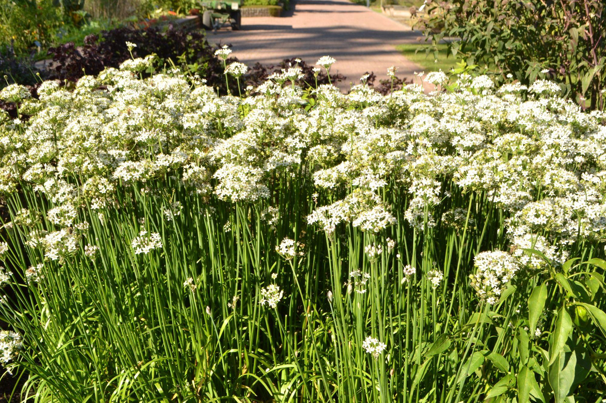Gumbinis česnakas (Allium tuberosum)