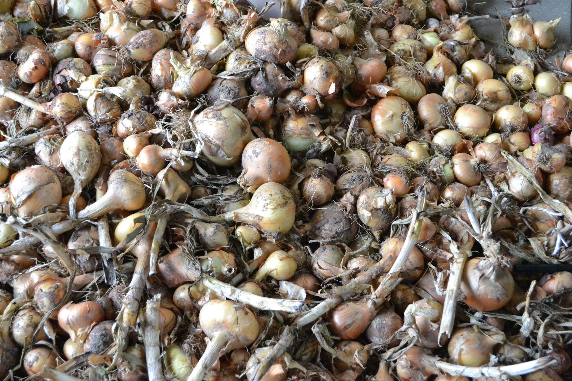 Valgomasis svogūnas (Allium cepa)