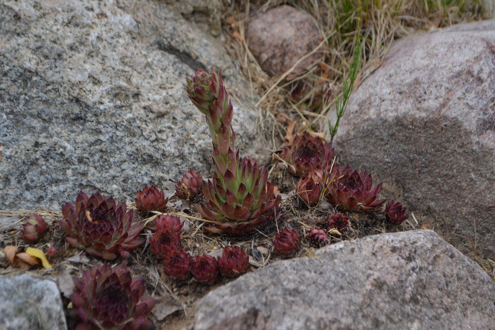 Stoginė šilropė 'Rubin' (Sempervivum tectorium)