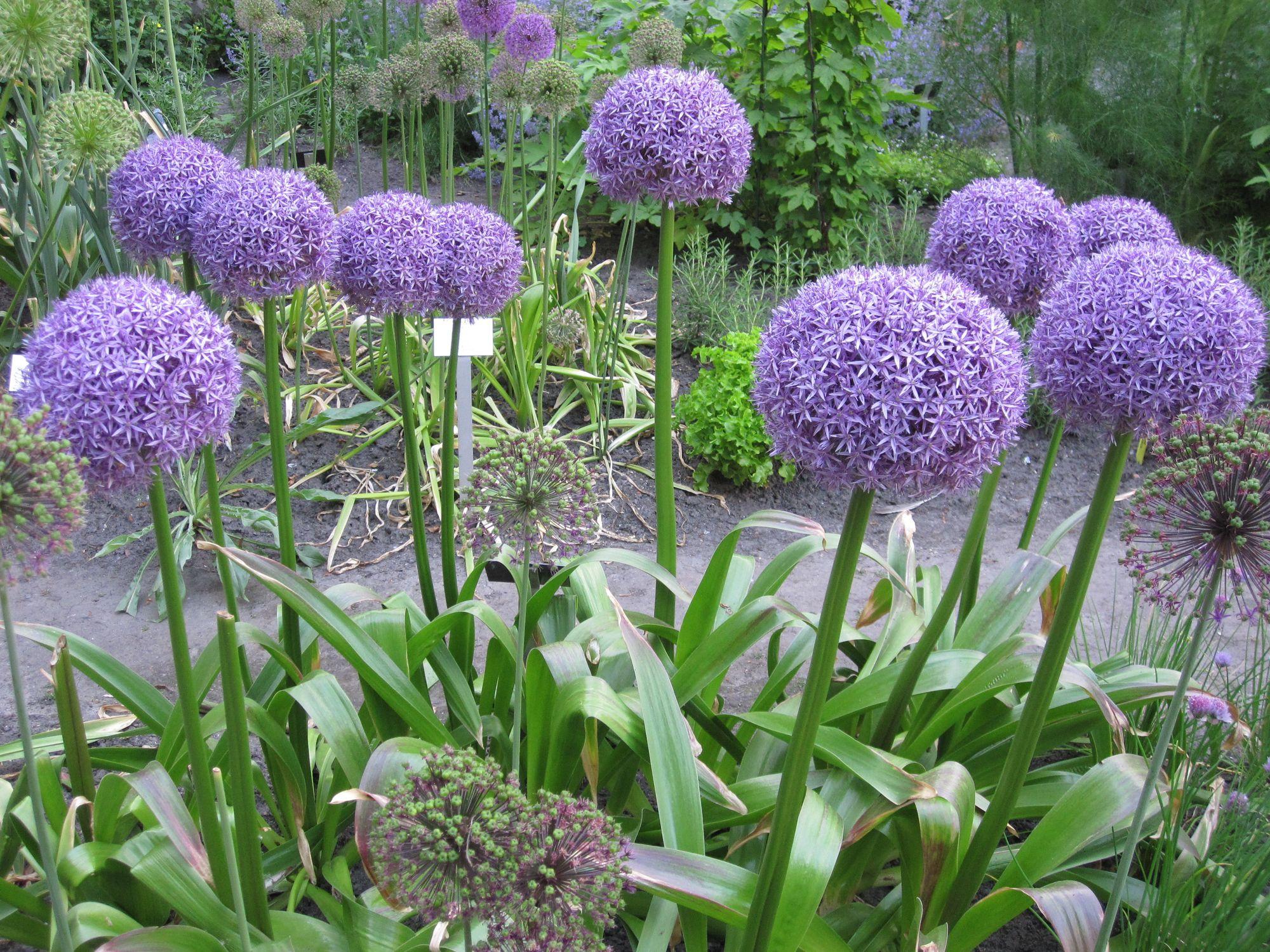Pakistaninis česnakas 'Mars' (Allium stipitatum)