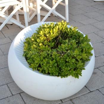 augalai vazone