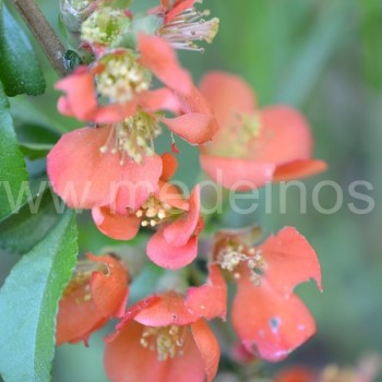 Japoninis svarainis (Chaenomeles japonica) 'Sargentii'
