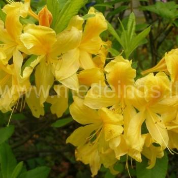 Japoninis rododendras (Rhododendron japonicum) 'Aurea'