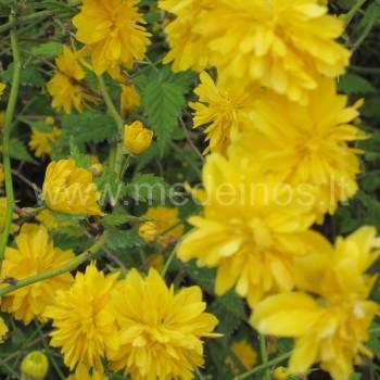 Japoninė kerija (Kerria japonica) 'Flore Pleno'