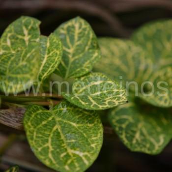 Japoninis sausmedis (Lonicera japonica) 'Aureoreticulata'