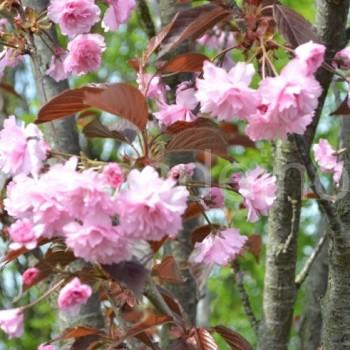 Smailiadantė vyšnia (Prunus serrulata) 'Royal Burgundy'