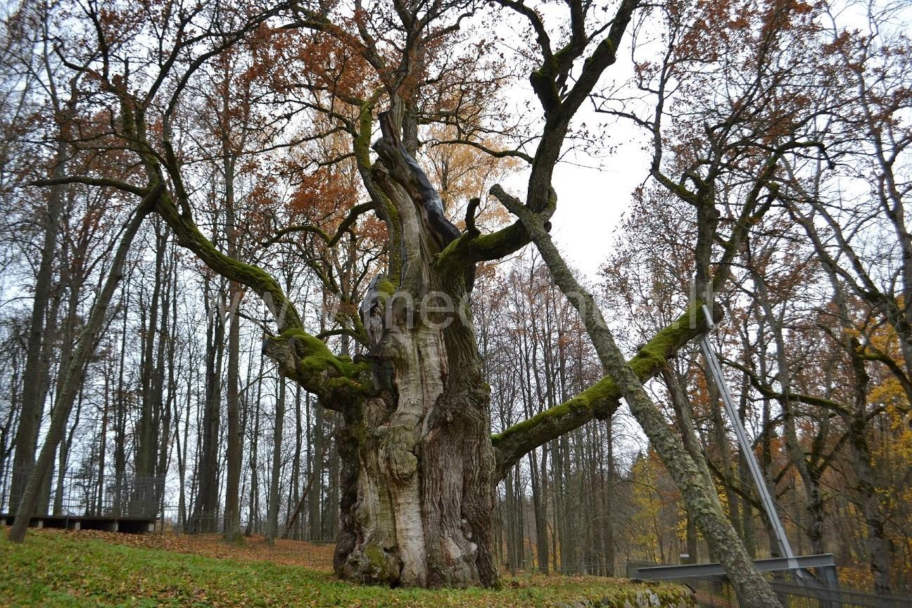 Stelmužės ąžuolas ir kitos šalia įdomios vietos