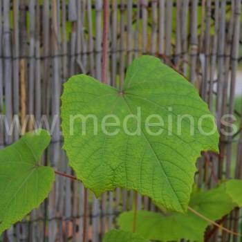 Japoninis vynmedis (Vitis coignetiae)