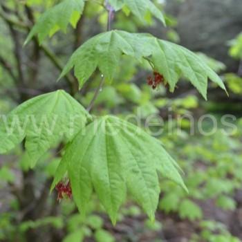 Japoninis klevas (Acer japonicum)